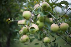 apple orchard- climbed trees and ate lotsa apples!