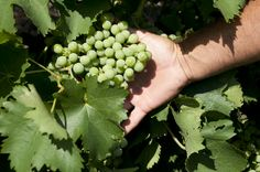 Catarratto Grapes