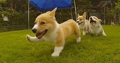 Corgi Puppies Running In Slow-Mo Will Make Your Day | Bored Panda