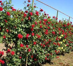 Busuioace cu miez roşu | Zdravăn Sun, Green, Plant