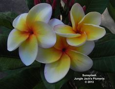 SunSplash: Still so new we're not sure if it's a near-dwarf or simply highly compact plumeria, but it is definitely special. We like this one A LOT.