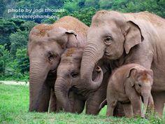 Dok Mai baby elephant and aunties