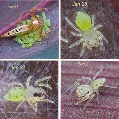 Viciria sp. jumping spider life cycle