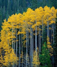 """caelums: (via / Photo """"Tall Aspen"""" by Kevin Parks) Tree Photography, Landscape Photography, Yellow Tree, Autumn Scenes, Aspen Trees, Nature Tree, Tree Forest, Mellow Yellow, Bright Yellow"""