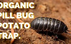Organic Pill Bug Control with a Potato Trap
