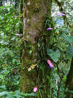 Tillandsia pretiosa = Tillandsia cyanea var. elatior, Bromeliaceae   por Ecuador Megadiverso