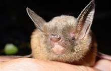 Lesser short-tailed bat.