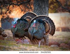 Two male turkeys strutting on grassy meadow with full feather displayed / Turkey Trot / Two Mature Tom Turkeys