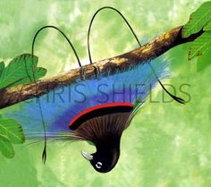 bird of paradise | Blue Bird of paradise (Paradisaea rudolphi) BD001 Illustration | Bird ...