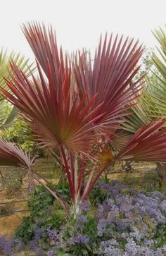 New backyard trees landscaping gardens 27 Ideas Palm Trees Landscaping, Backyard Trees, Tropical Landscaping, Backyard Landscaping, Landscaping Design, Palm Plant, Trees To Plant, Exotic Plants, Tropical Plants