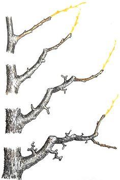 Rez jablone: Poradíme vám, ako postupovať, keď tvarujete štíhle vreteno Bonsai Fruit Tree, Bonsai Tree Care, Mini Bonsai, Fruit Trees, Bonsai Pruning, Tree Pruning, Bonsai Garden, Tree Diagram, Plantas Bonsai