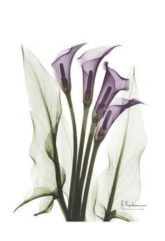 Calla Lily Quad in Color Art Print by Albert Koetsier at Art.com