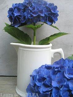 Hortensias bleus et pot blanc.