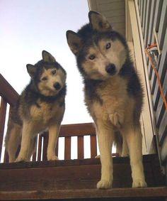 Milo Naranjo's huskies Denali and Tahoe