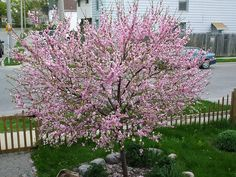 Nothing is quite as pretty in the spring as the flowering pink almond tree. Growing flowering almonds is a great way to add color to the landscape. Learn how to grow flowering almond trees here.