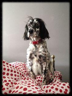 English Setter Pup