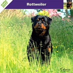 Calendrier chien 2017 - Race Rottweiler - Affixe Edition