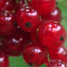 Johannisbeere Prinz Albert (Pflanze)  Ribes rubrum Vermutlich die älteste rote Johannisbeere. Sie stammt aus dem 16. Jahrhundert. Kräftiger dichter Wuchs. Spät reifend. Auch für ungünstige Lagen geeignet. Bei Vollreife haben die großen (=Kirschjohannisbeere!) Beeren ein feines, säuerliches Aroma.