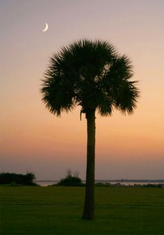 Palmetto Tree at Ft Moultrie