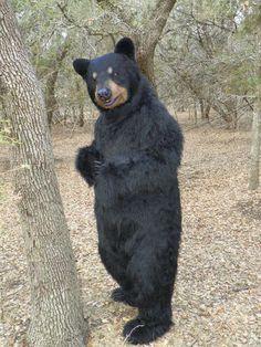 Bear fursuit costume