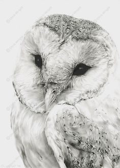 Owl Drawings | barn owl sketches pencil drawings wildlife art pictures: