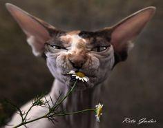 """""""С младых усов похожая на мать  Отнюдь не мышек с папою ловила  В ромашках полевых её вскормили  Привив к цветенью вкус и благодать   Нет, не сыскать ей чуткого кота  Что подарил бы девушке цветочек  Чтоб нежных лепесточков красота  Её пленила от хвоста до мочек   А потому - сама и без тоски  Совсем немножко лысенькая дама  Сощурив глаз, сгрызает лепестки  Урча в усы, как научила мама"""" (Автор текста - Simphoniq . спешл фо Рита Гадар )"""