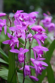 Orchidee de Jardin Epipactis Sabine | Bletilla | Pinterest