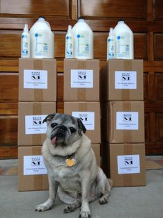 Christmas came early this year! Thanks to Winston the Pug and Mauro Pet Care, three lucky rescue groups received bottles of our leave in conditioner.  The Brittany Foundation received 48 bottles of shampoo http://www.brittanyfoundationonline.org/  Sante D'Or received 36 bottles of shampoo http://www.santedor.org/  ICARE received 24 bottles of shampoo. http://rescu7.wix.com/icaredogrescue