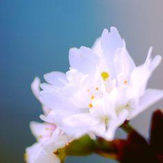 【gaurabee】さんのInstagramをピンしています。 《* * 桜🌸 コブクザクラ(子福桜)。 近所に咲いていました。八重でたくさん実をつけることから、子宝に恵まれると言われているそうです。年二回、10月と雪の時期に咲くようです。 Cherry blossom in winter. * * #flower #flowers #floral_perfection #loveflowers #instaflower #bns_flowers #softdreamyphotography #花 #花のある暮らし #はなまっぷ #花好きな人と繋がりたい #花マクロ部 #ザ花部 #ボケの極み乙女_部 #tokyocameraclub #japan #写真好きな人と繋がりたい #写真撮ってる人と繋がりたい #ファインダー越しの私の世界 #instagramjapan #nature #naturelovers  #桜 #Cherryblossom》