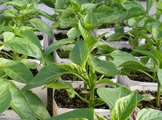 Как сажать перец на рассаду. Методы посадки и выращивание