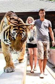 Tiger Kingdom Phuket (biggest tiger) I wanna gooooooooooo! Phuket Travel, Thailand Vacation, Thailand Honeymoon, Thailand Travel, Asia Travel, Thailand Adventure, Adventure Travel, Khao Lak Beach, Places To Travel