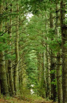 The beautiful state of Georgia!  Georgia pines! -Jenna