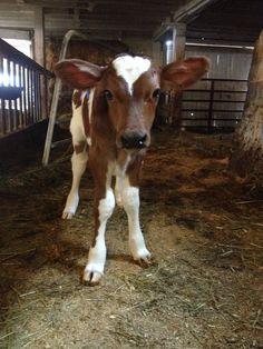 Ayrshire spring calf