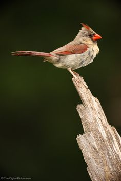 Female Cardinal Picture: A female Cardinal rests on the top of a log before going on her way. For more images with commentary visit us at www.The-Digital-Picture.com/gallery/