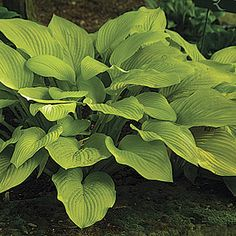 Hosta 'Fort Knox' with an elegant vase-shaped habit & radiant yellowish-gold leaves, lavender flowers appear in mid-summer.  Grows best with full morning sun (east side of house!)  Great at the base of small trees or shrubs