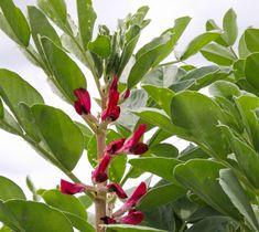 Sowing winter beans: Broad Bean Crimson | Organic Gardener Magazine Australia