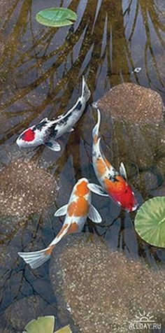 An ancient tale tells the gods recognized a koi for its perseverance and determination and turned it into a golden dragon, the image of power and strength.