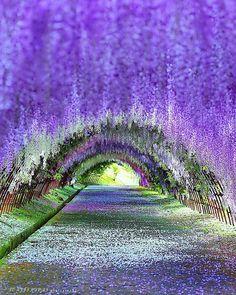 Wisteria Tunnel, Kawachi Fuji Gardens in Kitakyushu, Japan