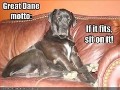 My 190 lbs Great Dane has a couch just like this one !!!!