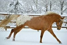 Smok N Hawk 2004 palomino Appaloosa stallion bred and owned by ranch… Photo by Amber Bond All The Pretty Horses, Beautiful Horses, Animals Beautiful, Horse Photos, Horse Pictures, Horse Ears, Appaloosa Horses, Andalusian Horse, Friesian Horse