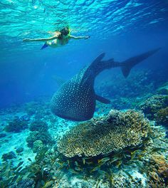 Woman Snorkeling With Whale Shark. Stock Image - Image of snorkel, shark: 46828847 Young woman snorkeling with whale shark. Young woman snorkeling underwater looks ,Young woman snorkeling with whale shark. Young woman snorkeling underwater looks , Cebu, Snorkeling, Cool Places To Visit, Places To Go, Swimming With Whale Sharks, Ocean Creatures, Ocean Life, Riviera Maya, Animals