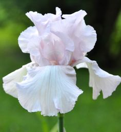 TB Iris germanica 'Cherished' (Corlew, 1972)