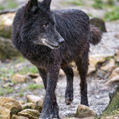 Black Timber wolf by Tambako the jaguar ✿⊱╮