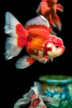 Make one special photo charms for your pets, compatible with your Pandora bracelets. Oranda Gold Fish - Lan Ling Bird and Flower Market Oranda Goldfish, Goldfish Tank, Goldfish Aquarium, Jellyfish Aquarium, Colorful Fish, Tropical Fish, Golden Fish, Cool Fish, Aquascaping