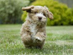 Cockapoo...any breed mixed with poodle is adorable