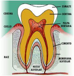Tejidos del diente. Estructura dental