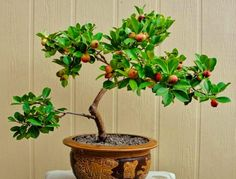 how to grow guava bonsai