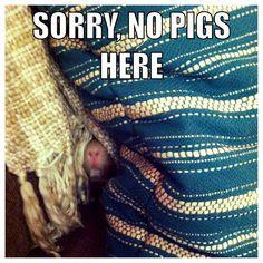 Elsie the guinea pig :)