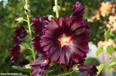 #Stockrose #Bauernrose #Hollyhock #Alcea rosea http://www.florilegium.de/blog/pflanzen/blumen-im-garten/die-stockrose-alcea-rosea.html
