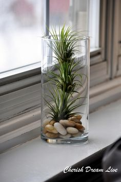 Air plant in a glass vase – Best Garden Plants And Planting Air Plants, Garden Plants, Indoor Plants, Indoor Herbs, Moss Garden, Indoor Gardening, Cactus Plants, Air Plant Display, Plant Decor